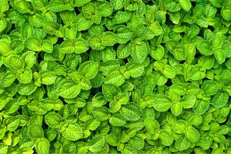 Fragrant mint