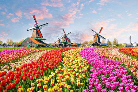 Landscape with tulips