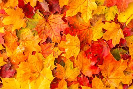 Frunze de arțar de toamnă