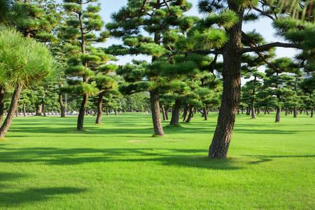 Pine park in Tokyo