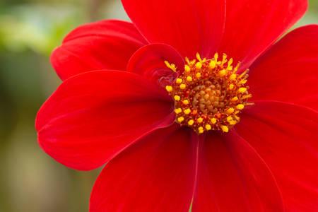 Floare rosie