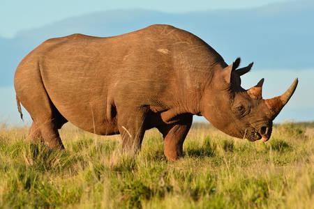Čierny nosorožec
