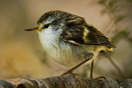 Rifleman bird