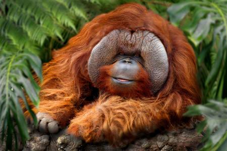 Ginger orangutan