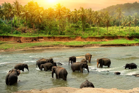 Herd of elephants on the river