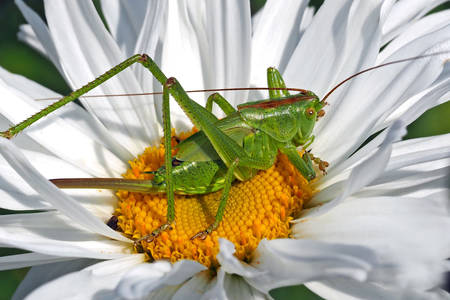 Grasshopper on chamomile