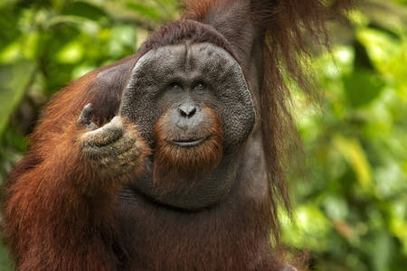 Bornay orangutan