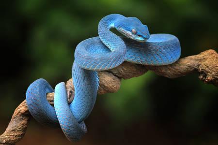 Blauwe keffiyeh