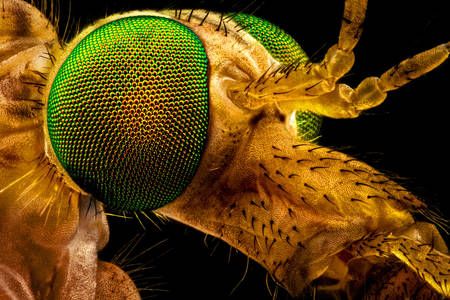 Macro photo of a green-eyed fly