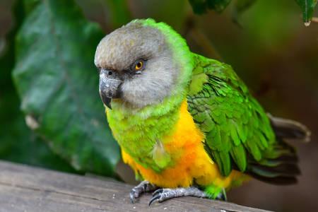 Senegalese Parrot