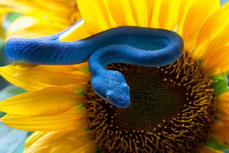 Μπλε οχιά σε έναν ηλίανθο