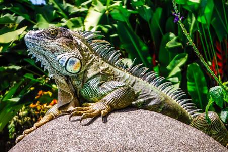 Iguana egy kövön