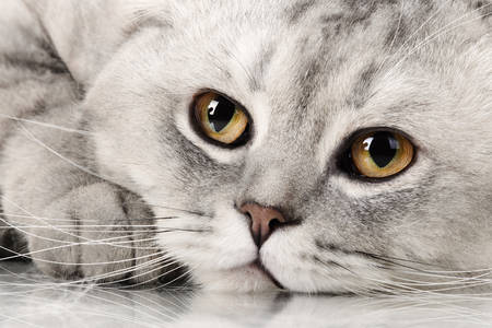 Gatto British shorthair