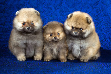 Pomeranian puppies on a blue background