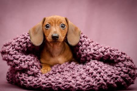 Dachshund in a purple scarf