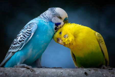 Pair of budgies