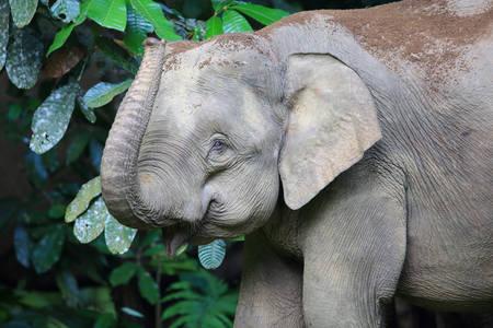 Elefante del Borneo