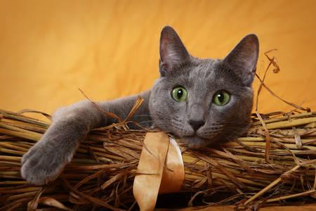 Pisică albastră rusă