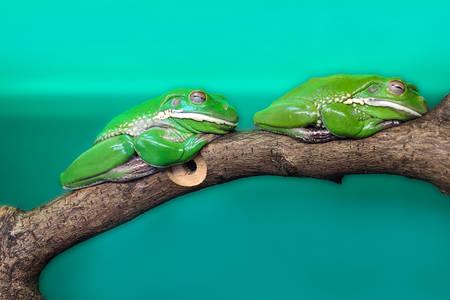 Ranas arborícolas australianas en una rama