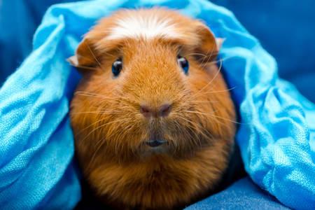Guinea pig under a blue blanket