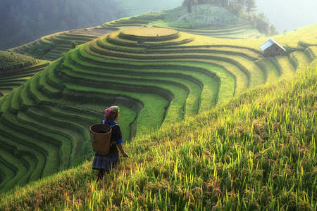 Champs de riz en terrasses