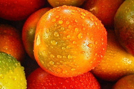 Tomatoes with dew drops