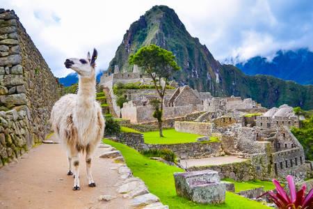 Machu Picchu'daki Lama