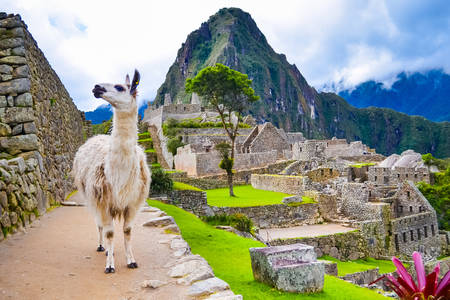 Lama v Machu Picchu