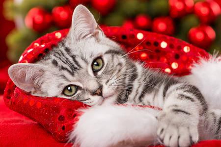 Boże Narodzenie kotek