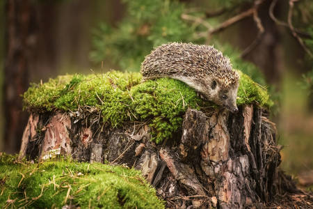 Hedgehog on a tree stump