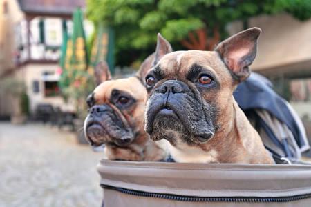 Bulldog francesi