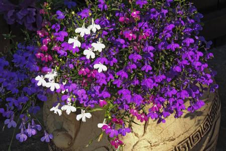 Belo i ljubičasto baštensko cveće