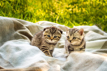 Kittens on a blanket