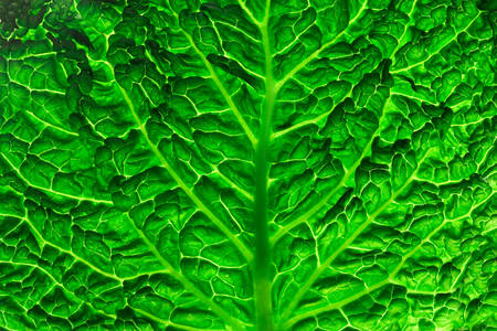 Текстура листа савойської капусти