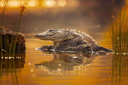 Crocodilo em uma pedra