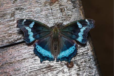 Modrý admirál motýl