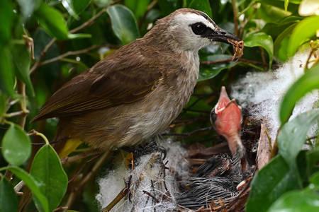 Pasărea hrănește pui