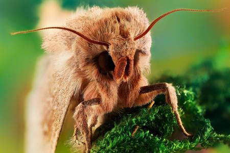 Fotografie macro a unei molii