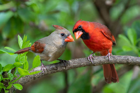 Red cardinal male and female