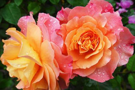 Bicolor güller