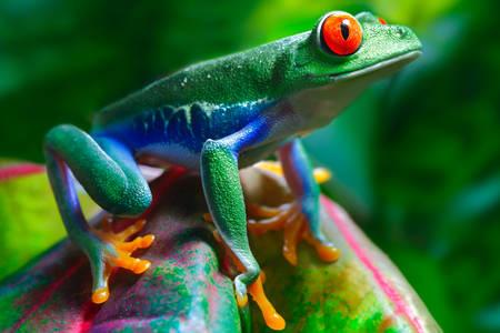 Червеноока жаба