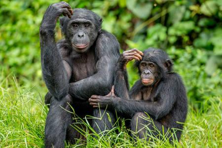 Chimpanzee mother and child Bonobo