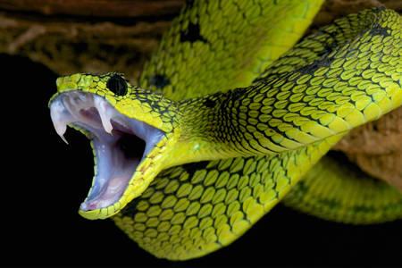 Otrovna zmija