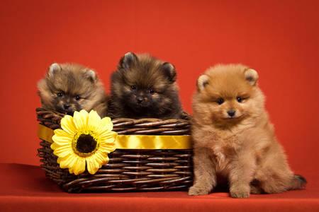 Pomeranian Spitz štenci