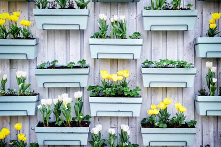 Tulipán virágcserépben