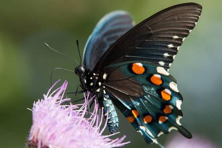 Leptir crni mačeon