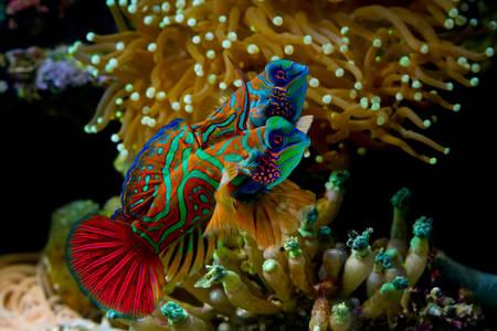 Fish Mandarin