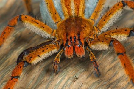 Goliath tarantula spider