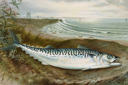 Mackerel on the shore