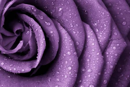 Lila rózsa harmatcseppekkel